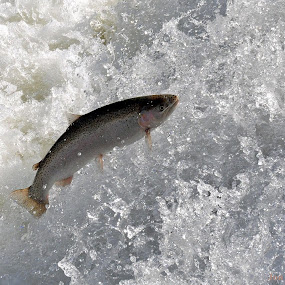 Lake Trout jumping at the Old Mill by Jon Hurd - Animals Fish (  )