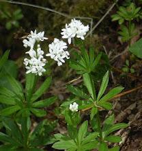 Photo: Sweet Woodruff, Galium odoratum Argyll, coastal woodland