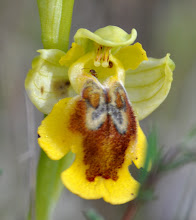Photo: Ophrys sicula, Orchidaceae