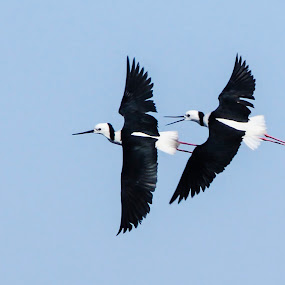 Tandem by Rusman Budi Prasetyo - Animals Birds ( bird, wildlife,  )