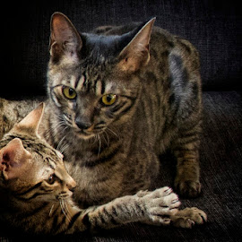 Savannah cats by Monita Alstadsæter - Animals - Cats Portraits ( cat, savannah, playing, animals, family )