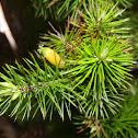 Pine Heath