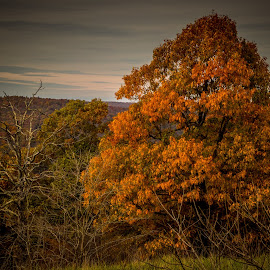 LIVE TREE DEAD TREE by Jennifer  Loper  - Nature Up Close Trees & Bushes ( orange, alive, leaves, arkansas, dead, trees )