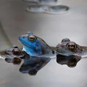 Threesome by Gregor Grega - Animals Amphibians ( water, blue frog, frogs, rana arvalis, amphibians,  )