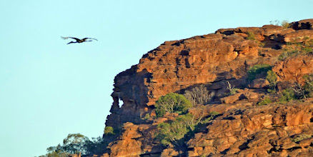Photo: Day 3 - Black-necked Stork gliding over Anbangnbang Billabong © Ian Morris