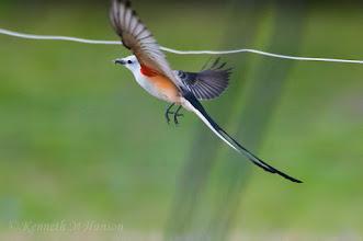 Photo: Scissor-tailed Flycatcher