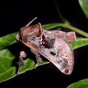 Semyra bella Moth