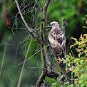 Eagle - Hawk Eagle Changeable
