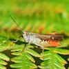 Slant-faced Grasshopper