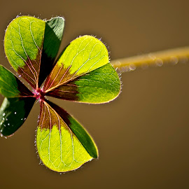 4 Leaf Clover by Paula NoGuerra - Nature Up Close Other plants ( macro, detail, nature, macro photography, leaves, clover,  )