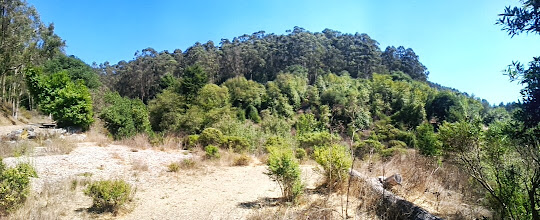 Photo: The background eucalypti are targeted for eradication by UCB. The CCC will build trails and help with the restoration effort