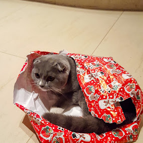 Cat by Edu Marques - Animals - Cats Portraits ( gato, cats, present, cat, cat eyes, cat portrait, christmas, domestic cat,  )