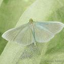 Palpita Moth