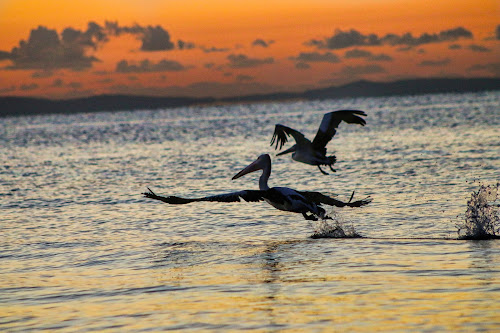 Pelicans in Margate by Carole Pallier  - Uncategorized All Uncategorized ( flight, wings, pelicans, sea, ocean, sunrise, birds )