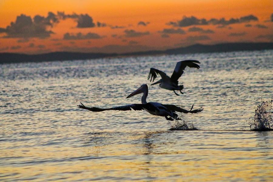 Pelicans in Margate by Carole Pallier  - Uncategorized All Uncategorized ( flight, wings, pelicans, sea, ocean, sunrise, birds )