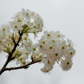 by Terry Linton - Flowers Tree Blossoms