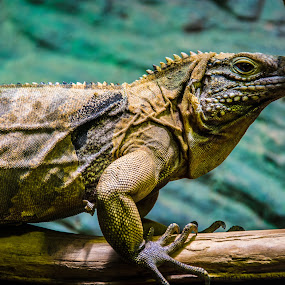 resting on branch by Thurisaz Photography - Animals Reptiles ( indoor, animal, prague, reptile, zoo, branch, leguan, frame,  )