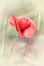 Photo: http://www.redbubble.com/people/inspiraimage/works/12975303-wild-poppy