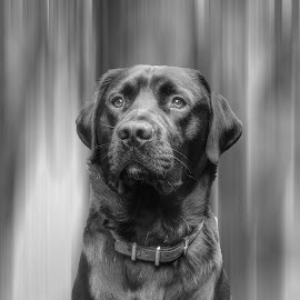 by Ksenija Bauer - Animals - Dogs Portraits ( black and white, dog )