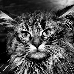 Mad Kitty  by Michael Cowan - Black & White Animals ( cat, shelter, adopt,  )