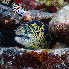 Chain Moray Eel