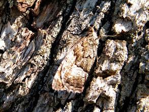 """Photo: Le """"Sylvandre"""" et son mimétisme sur un arbre. 30.08. Lubéron (04)"""