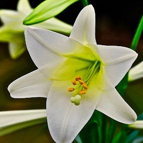 Beautiful 'Lily'... by Doug Wean - Flowers Single Flower ( lily, blooming, petals, nature up close, garden, flower,  )
