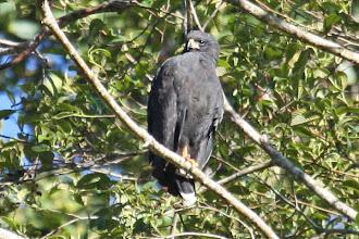 Photo: Great Black-Hawk