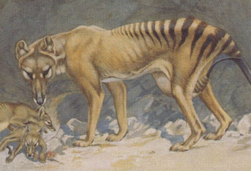 My Thoughts and Hopes for the Thylacine: I'm Still Hopeful!