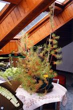 Photo: Roridula dentata während des Winters in unserem Dachzimmer.  During winter inside our roof-room.