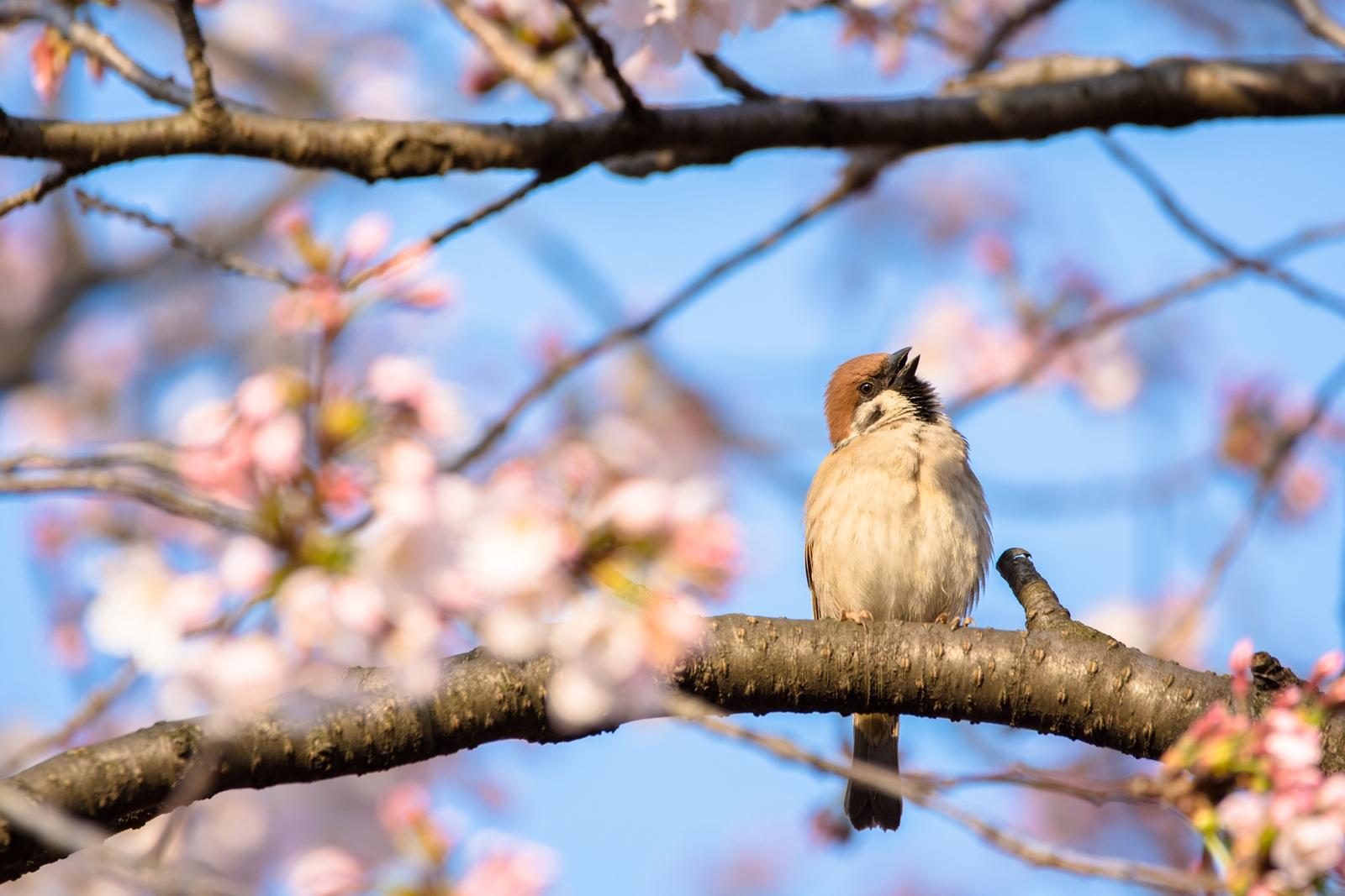 Photo: 「どれにしようかな?」 / Which one should I choose?  あっちで咲いて こっちで咲いて 次へ次へと花開く 目移りが止まらないね  sparrow. (スズメ)  Nikon D7200 SIGMA 150-600mm F5-6.3 DG OS HSM Contemporary  #birdphotography #birds #kawaii #小鳥 #nikon #sigma  ( http://takafumiooshio.com/archives/2318 )