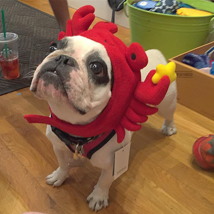 A french bull dog dressed as a crab at Fish & Bone. Photo: JessCa.