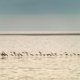 Farsi written by birds by Annette Flottwell - Animals Birds ( whistling ducks, guanacaste, ducks, swarm, birds,  )