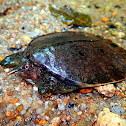 Malayan Soft-shell Turtle