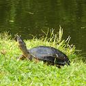 White-lipped mud turtle