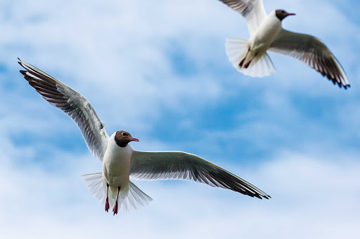 Lindblad-Expeditions-Iceland-Black-Headed-Gulls.jpg - Two black headed gulls fly freely in the sky during a Lindblad Expeditions tour of Iceland.