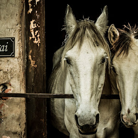 by Andre Oelofse - Animals Horses (  )