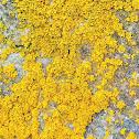 Orange Wall Lichen