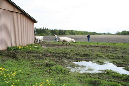 Sightseeing Køer på græs 2006