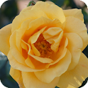 Yellow Rose Live Wallpaper icon