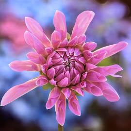 Purple Dahlia Bud by Jim Downey - Flowers Single Flower ( blue, dahlia, budding, purple, flower )