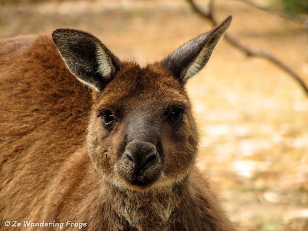 Wanna give me a kiss, Mr Kangaroo?