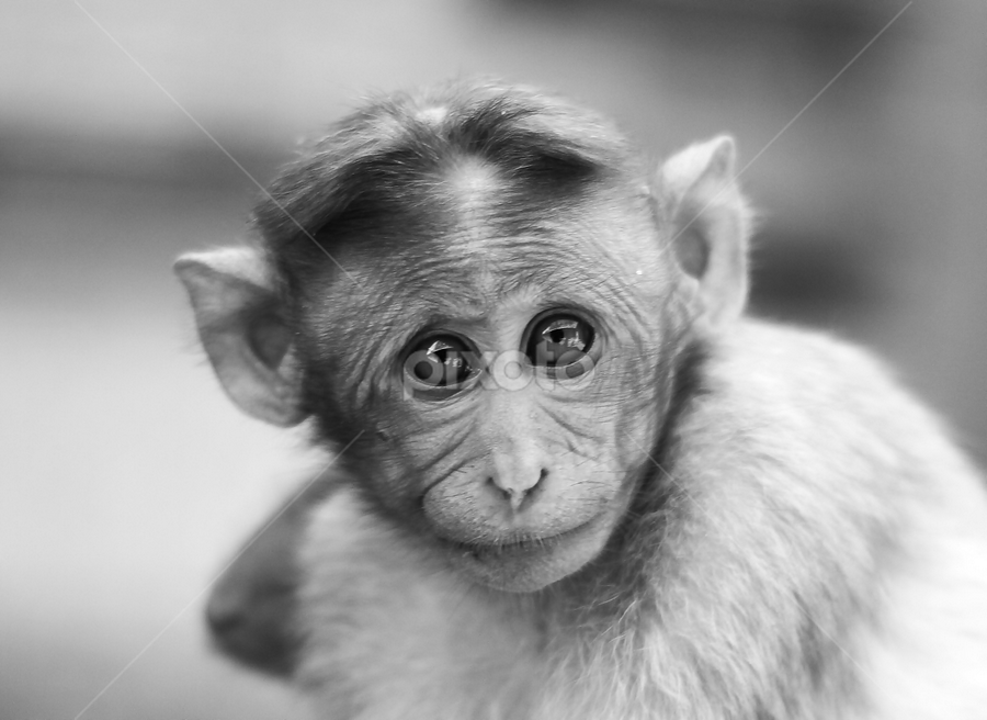 by Dhruv Ashra - Animals Other Mammals ( black and white, animal )