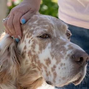 Huckleberry 3 by Jill Zwick - Animals - Dogs Portraits ( pet portrait, english setter, dog, pet, dog portrait )