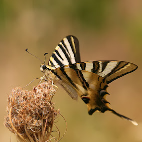 Zebra butterfly by Fernando Alves Fotografia - Animals Insects & Spiders ( butterfly, nature, insect,  )