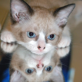 Gracie X2 by Barb Moore - Animals - Cats Kittens ( baby, young, animal, #GARYFONGPETS, #SHOWUSYOURPETS,  )