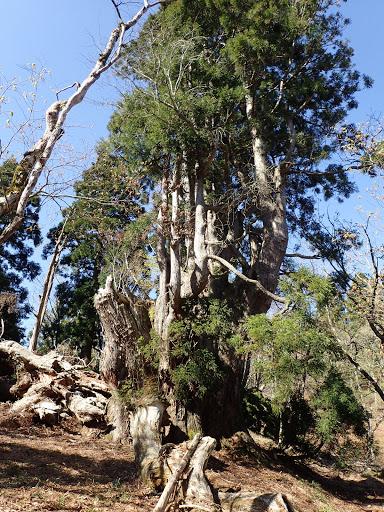 光砥山手前の巨木(左の枝?が折れている)