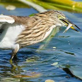Heron's Catch by Nirupam Roy - Animals Birds ( nirupam, wildlife, heroncatch, heron, photography, nirupam photography heron )