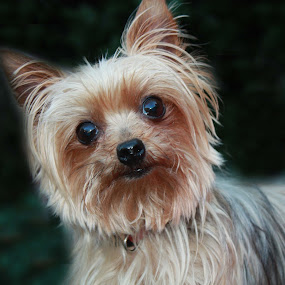 Shandy by Sharon Scholtes - Animals - Dogs Portraits ( tiny, canine, yorkshire terrier, brown, dog, black )