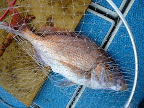 Photo: アンカー潮の時の、胴つきで真鯛! 3kgUPですな!
